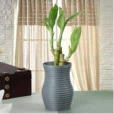 Feel Lucky Bamboo Plant