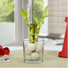 Get Lucky Bamboo Plant