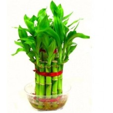2 Layer Lucky Bamboo Plant FENG SHUI (Healthy Plant)